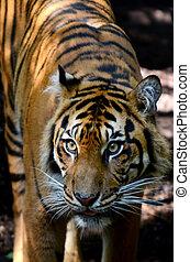 sumatran tijger