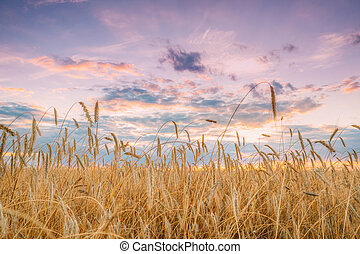 Summer Agricultural Landscape Of Young Yellow Wheat Field. ...