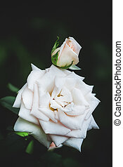 Summer background with beautiful white rose, blurred image, selective focus, shallow depth of field