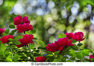 Summer background with blooming rose bush, selective focus, shallow depth of field