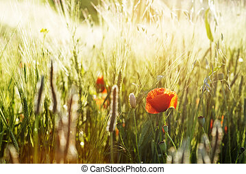 Summer background with flowering poppies and wheat field at sunset
