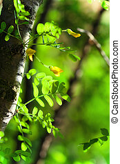 summer background with green leaves of acacia