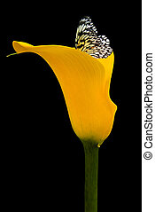 Summer Beauty - Butterfly in a yellow calla lily.