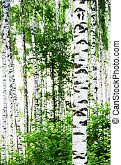 summer birch forest
