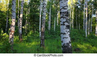 summer birch forest in Russia