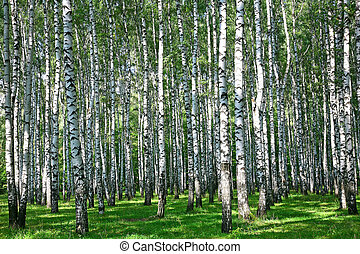 Summer birch grove in sunlight