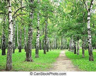 Summer birch grove in the evening