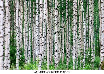 Summer Birchwood - Trees in the birchwood in a row in summer