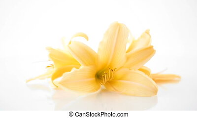 summer blooming flowers of yellow lily isolated on white...