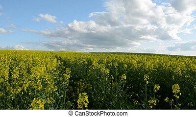 summer blooming rapes field