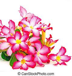 Impala Lily - Summer blossom of Impala Lily, a beautiful red...