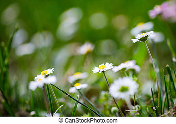 Summer bright landscape with white daisy flowers