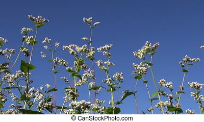 summer buckwheat blossoms in wind