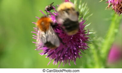 summer Bumble bee insect flower macro - bumblebees on ...