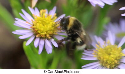 summer Bumble bee insect flower macro