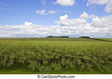 summer canola crop