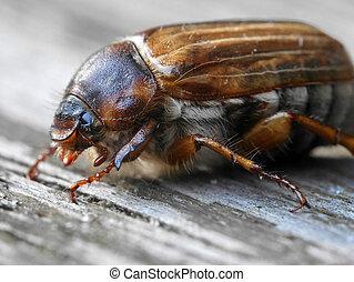 summer chafer (june bug) - Summer chafer