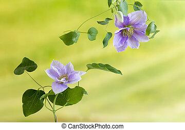Summer clematis flowers