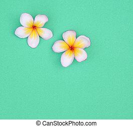 Summer concept: white flowers on blue background (Plumeria)