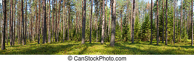 Summer conifer forest panorama - Panoramic view of fir...