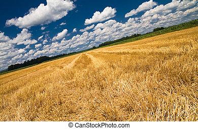 Cornfield - Summer Cornfield