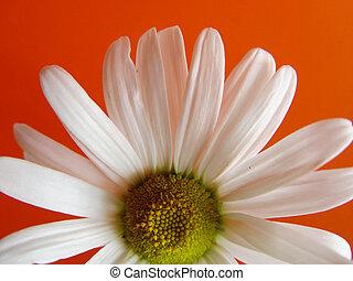 summer daisy orange