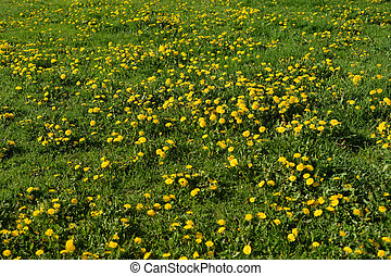 Summer dandelions at sunny day.