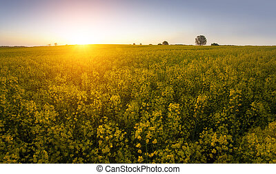 summer day - rape field