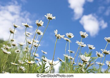 Summer Dream - The smell of summer freshness in a field of...