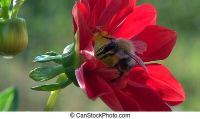 summer end bumblebee on dahlia