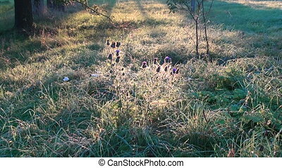 summer end thistle flowers in morning sunlight
