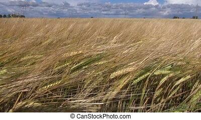 summer farm  barley field in wind