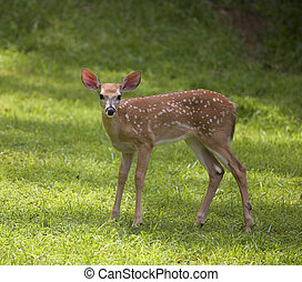 summer fawn - whitetail deer fawn still in spots on a green ...