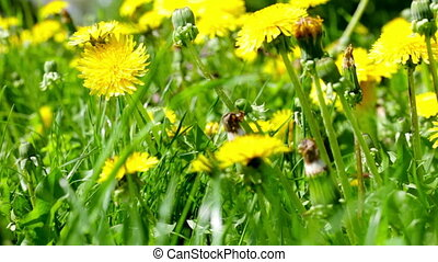 Summer field of dandelions close up - Bright yellow...