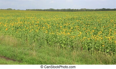 Summer field of sunflowers. Russia.