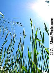 Summer field of wheat