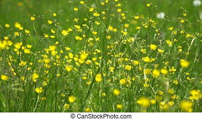 Summer field of yellow flowers