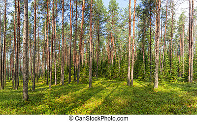 Summer fir forest panorama - Panoramic view of conifer...
