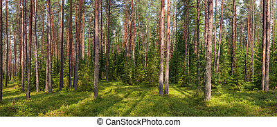 Summer fir forest panorama - Panoramic view of boreal forest...