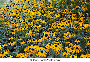 summer flower bed with yellow Rudbeckia fulgida flowers