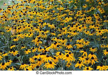summer flower bed with yellow Rudbeckia fulgida flowers