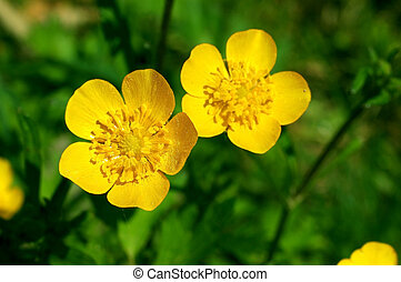 Colorful flower, buttercup, spearwort, Ranunculus repens