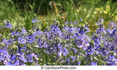 Summer flowering in a forest glade. Bright flowers of small...