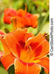 Summer flowers Orange daylilies in garden