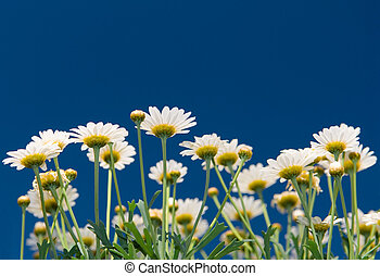 Summer flowers - Some summer flowers (daisy) in the garden