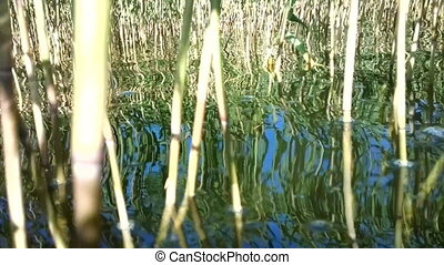 Summer. Flowing reeds reflection and glare of sun in warm water