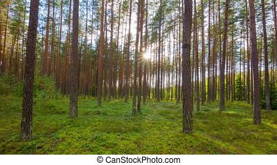summer forest and the sun