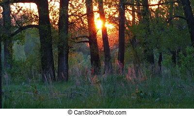 summer forest landscape at sunset