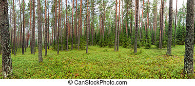 Summer forest panorama - Panoramic view of conifer forest on...