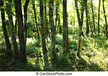 summer forest with sunlight